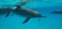 Freilebende Spinner Delfine am Sataya Riff ganz nah