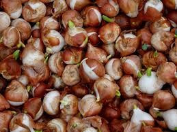 Planting and Maintaining Bulbs