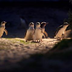 Penguin Parade_11 (full res).jpg