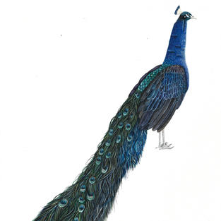 Peacock done in watercolour