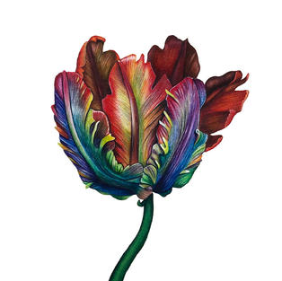 Parrot Tulip done in watercolour