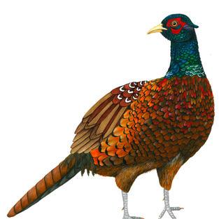 Pheasant done in watercolour