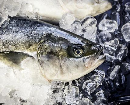 IOFA Yellowtail Kingfish