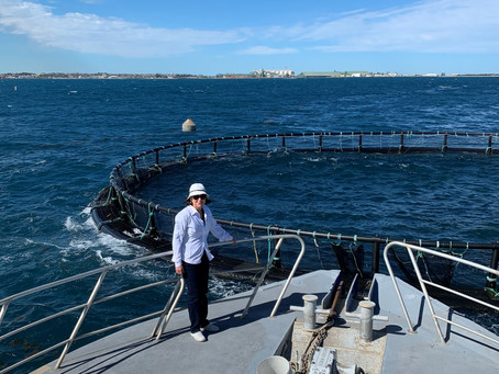 Geraldton Kingfish production pause