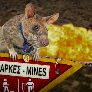Landmine Detection Rat Receives Animal Equivalent of the Distinguished Service Cross
