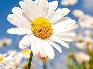 perennial-plants-shasta-daisy__93946.160