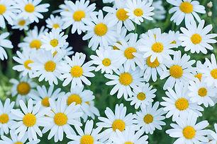 Shasta-daisies.jpg