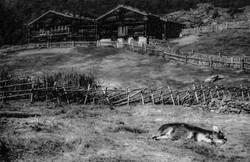 Val Senales-la mucca
