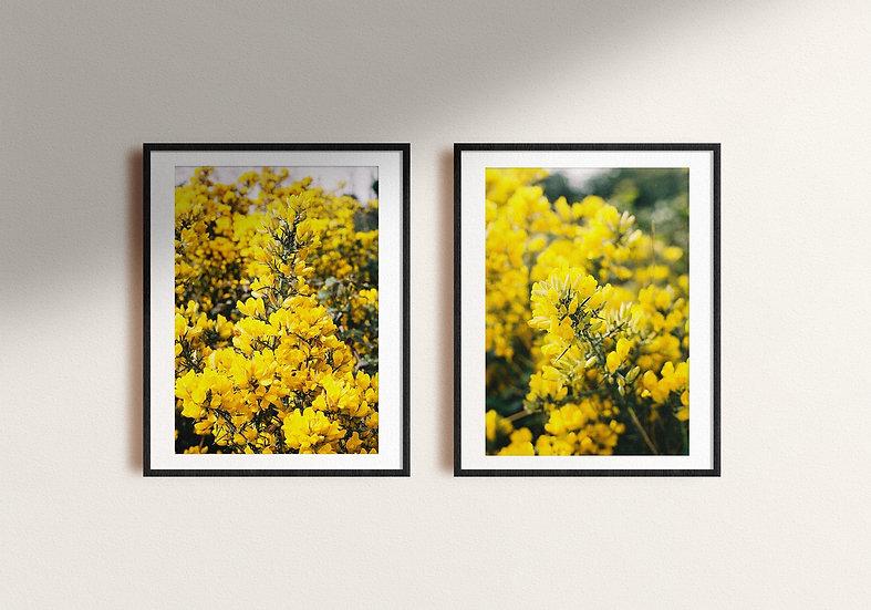Yellow Blossoms | Brittas Bay, Ierland