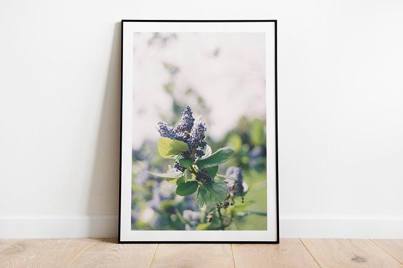 Blue Blossom   Brittas Bay, Ierland