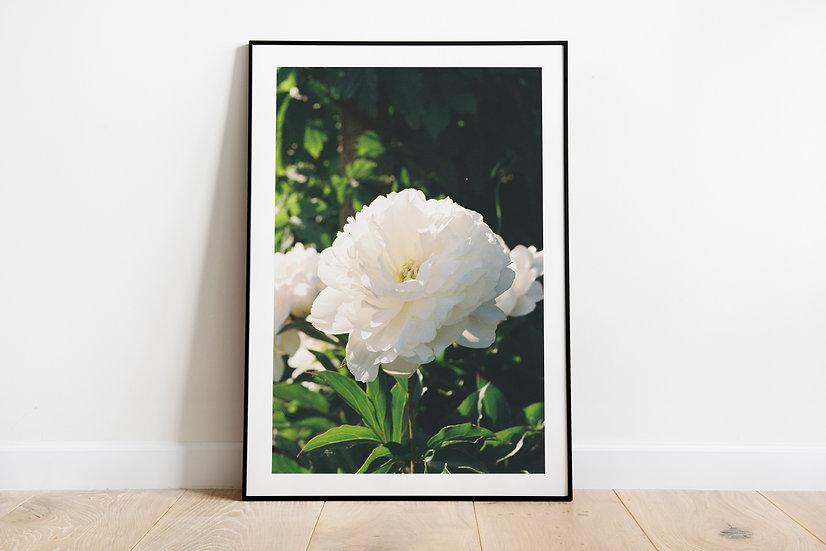 White Roses | Part 2