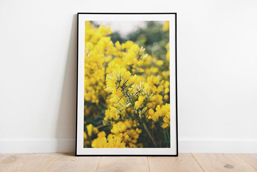 Yellow Blossom, part 2 | Brittas Bay, Ierland