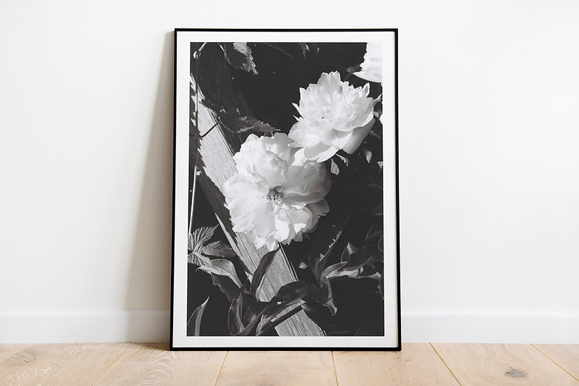 Roses without color