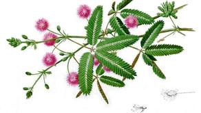 """Flores que Curan """"Adormidera"""""""
