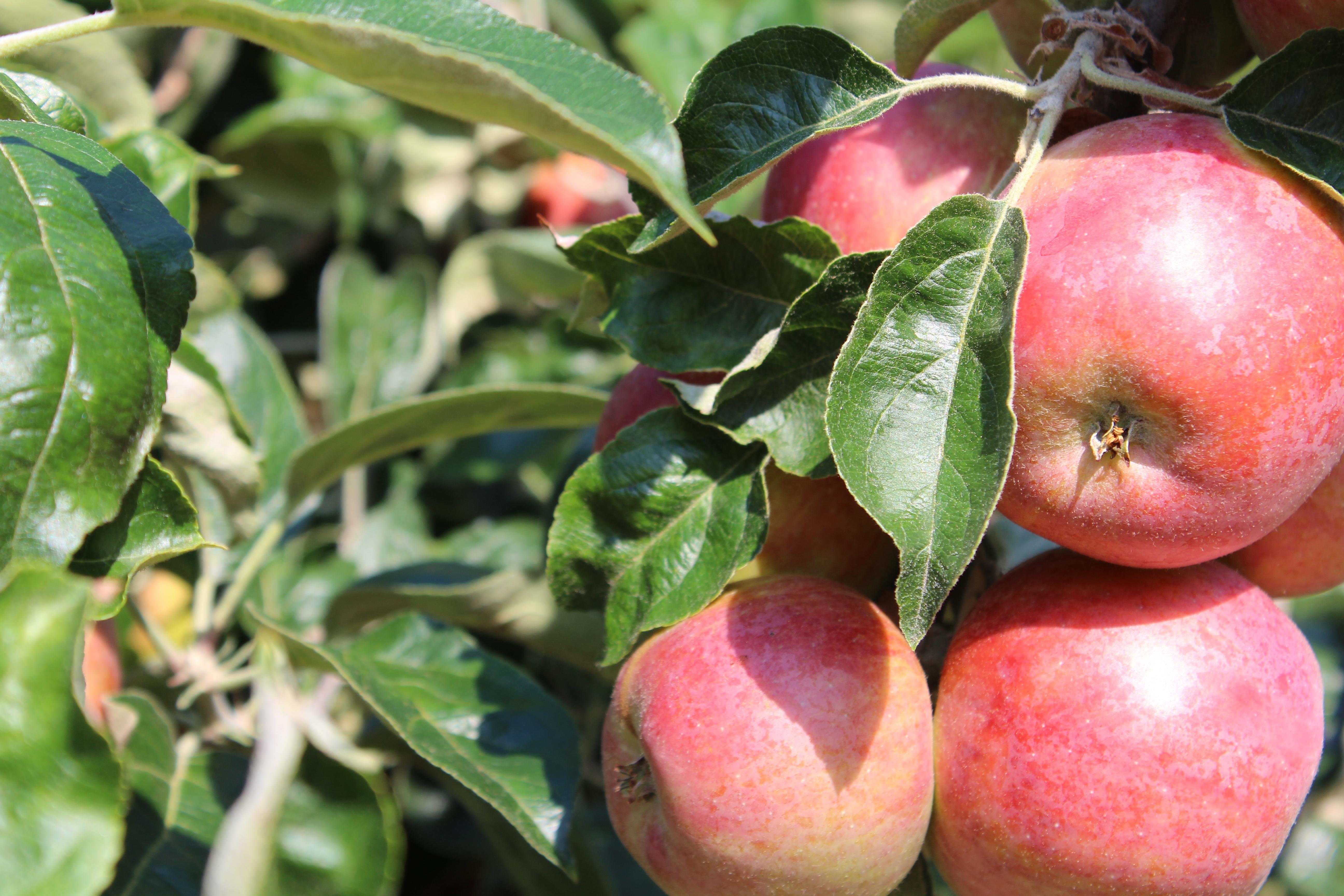 Curran Apple Orchard