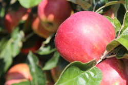 Curran Orchard Apples