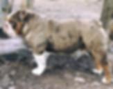 AKC Chocolate Merle Engish Bulldog
