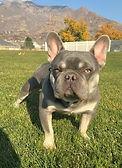 AKC Lilac Tri French Bulldogs