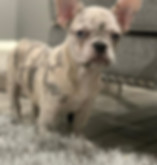 Chanel - Lilac Merle French Bulldog