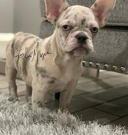 Chanel - Lilac Merle French Bulldog
