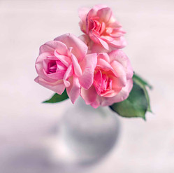 Roses of Lockdown