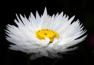 White Paper Daisy