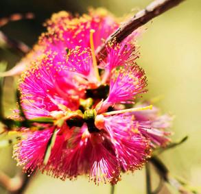 Gumut Blossom