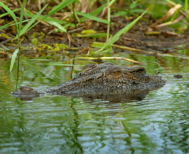 Croc glance Magela Ck No 3.jpg