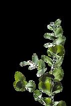 Minimal eucalyptus leaves_edited.png