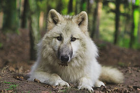 Tree Inn Wolf Dala