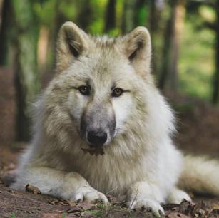Unsere Wölfe