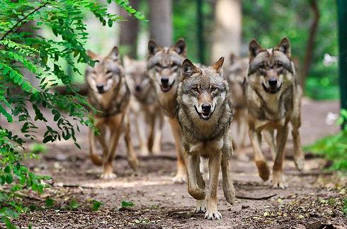 Wolfcenter - Laufende Wölfe