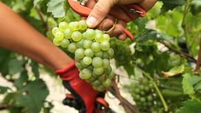 Harvest in Champagne: A Rich Tradition