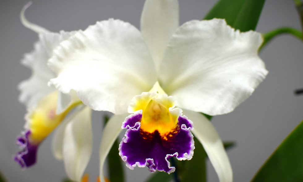 Cattleya Orchid - White - pot plant.