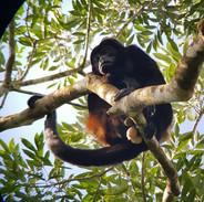 Mono congo.jpg