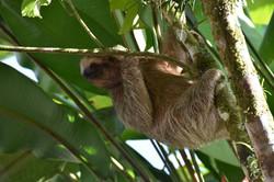 Sloths in Rio Celeste