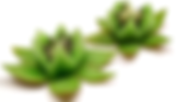KiwiFlorDeLoto-1.png