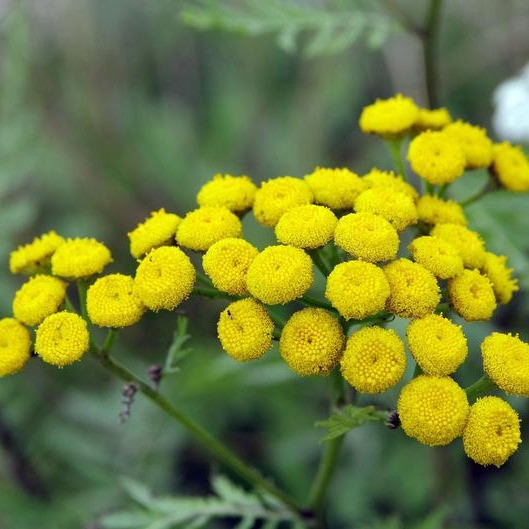 pickles potions blue tansy 7_edited.jpg