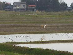 朱鷺が田んぼに飛来 城の越 トキの森公園 トキ放鳥 野生のトキ