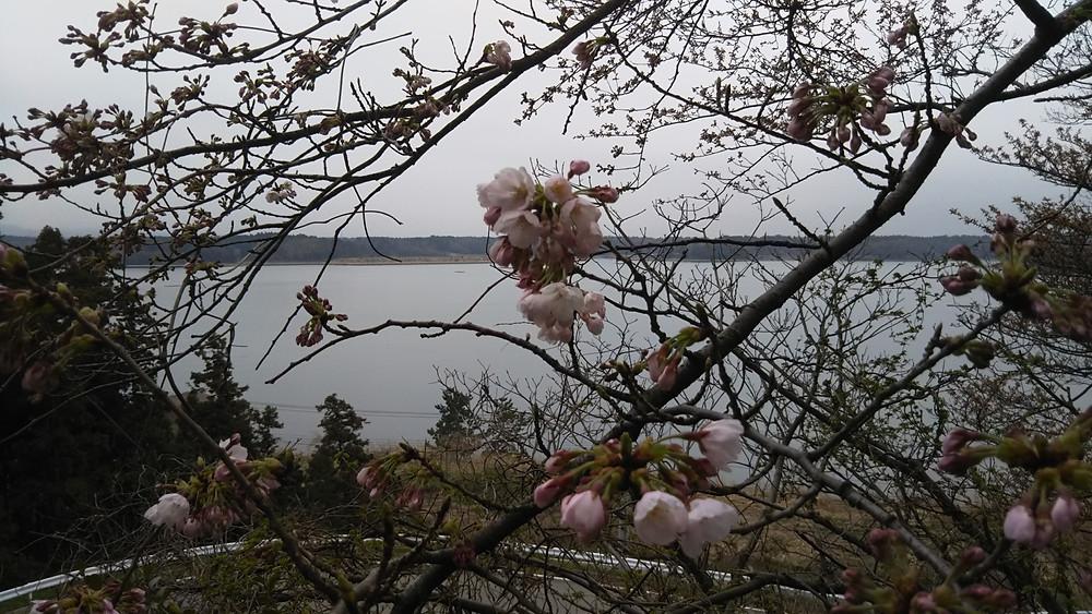 椎崎温泉 あおきや 桜の開花