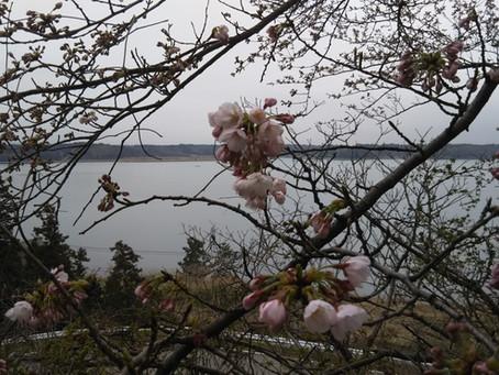 桜の開花o(^▽^)o