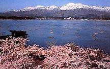 金北山 桜 しいざき温泉
