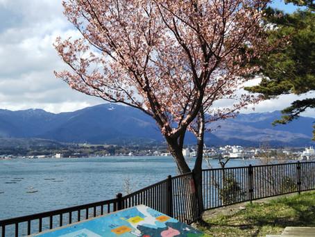 椎崎公園・加茂湖展望の丘「未来桜」満開🌸