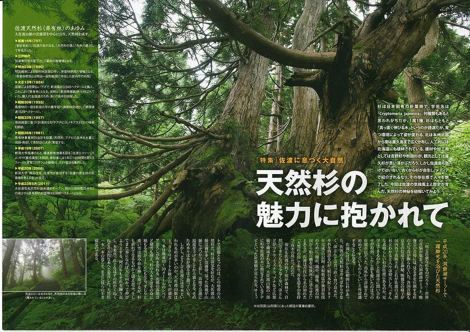 花の島 佐渡 天然杉