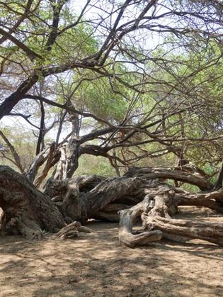 The Huarango tree