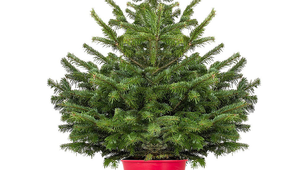 Potted Nordmann Fir 80-100cm