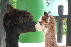 Alpaca Mommy and baby