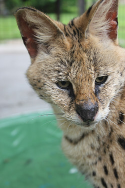 African Serval