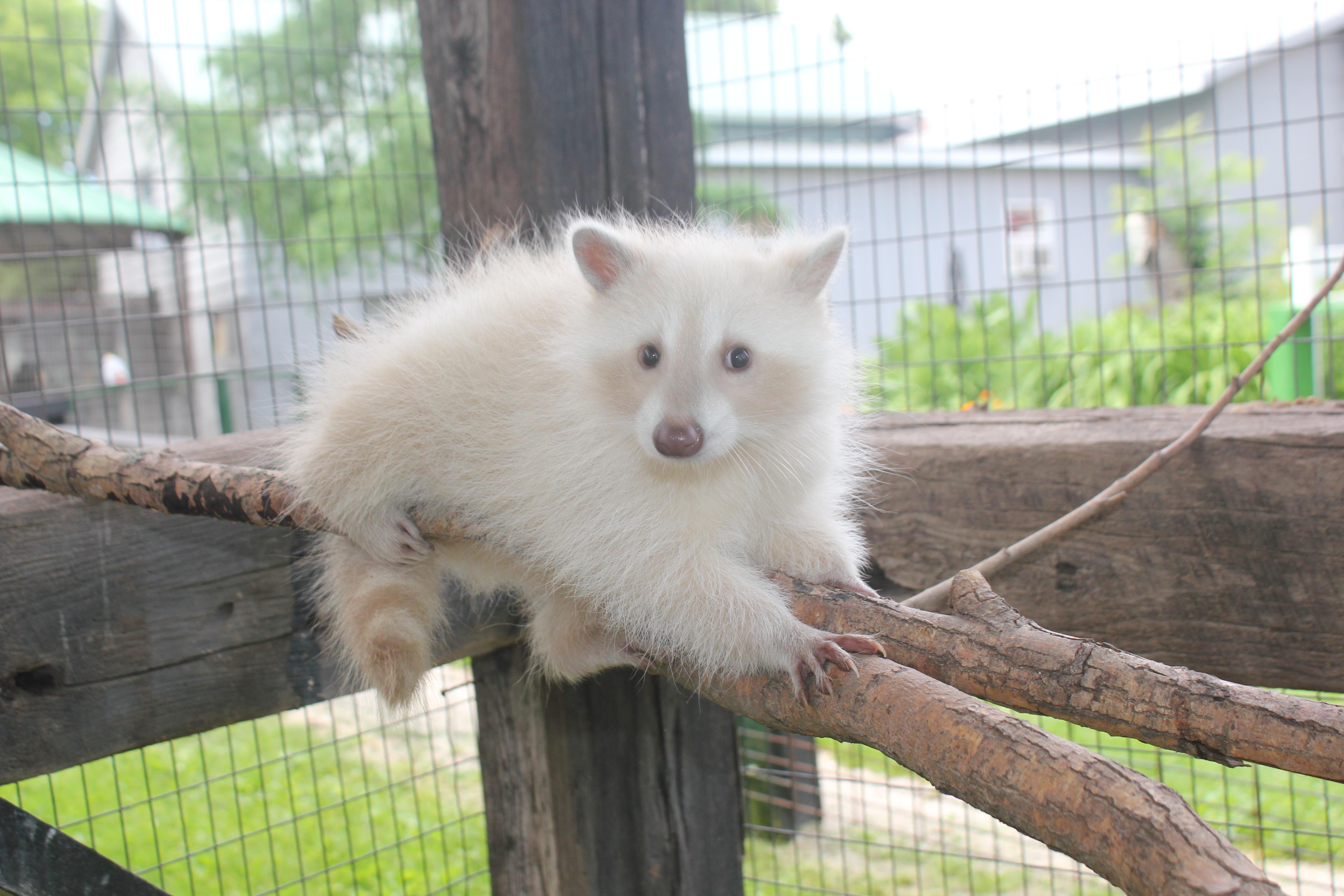 Blond Raccoon