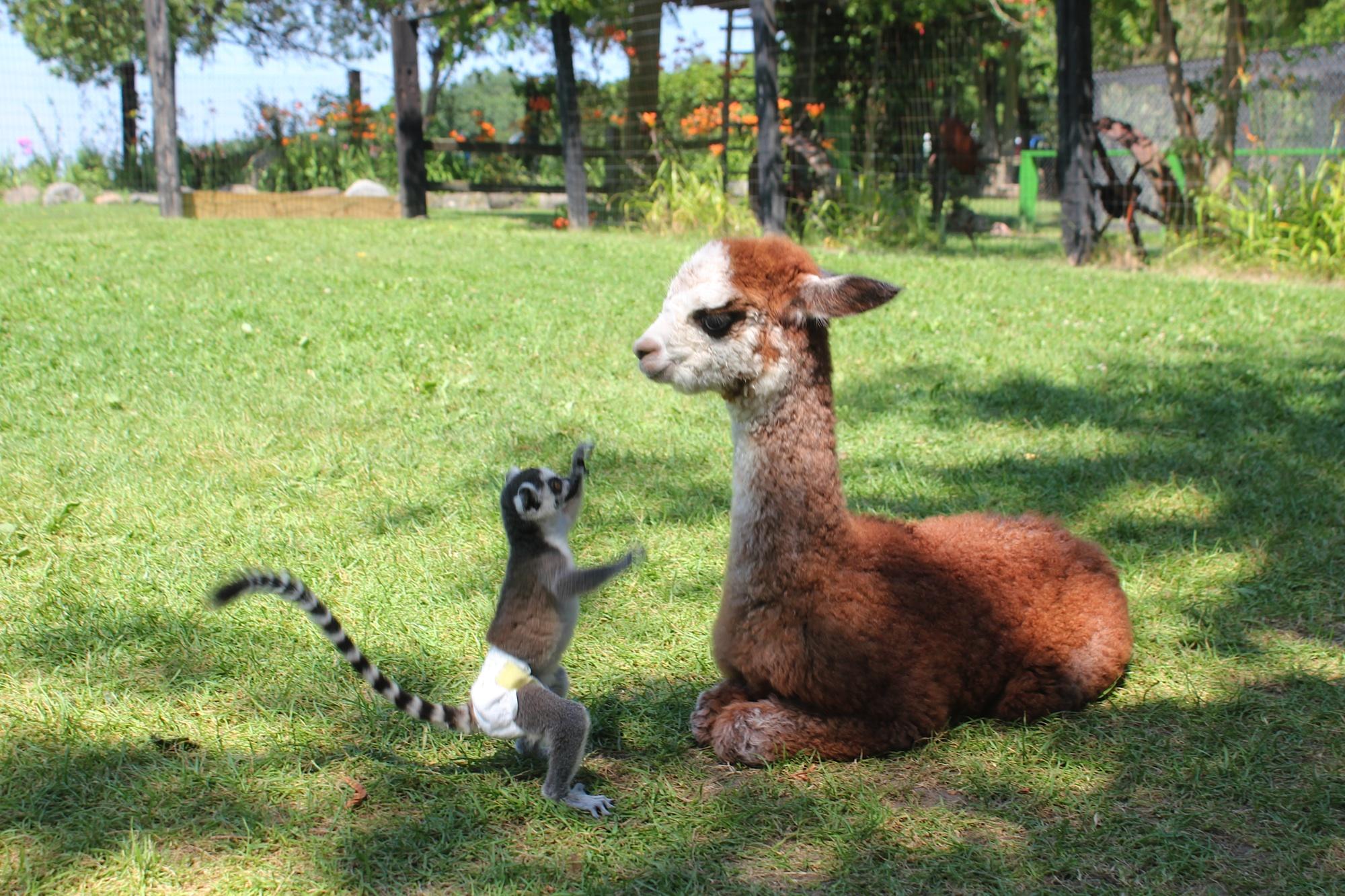 Ring Tailed Lemur and Alpaca